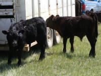 Pair of bull calves