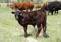 808's April 1st bull calf out of Chucky, 808 is the mother to Levi our 1st bull we ever sold