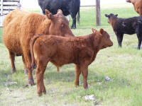 512, Montana Daughter with her April 7th steer calf out of Chucky.  Chucky-Stealth cross heifer in the background.