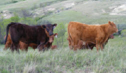 March Black heifer out of Chucky & March 19th Blond Red bull calf out of a Montana Daughter & Timber