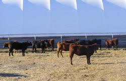 Silver Spur Heifer Calves