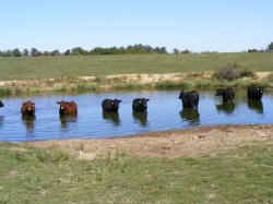 "Salyers cows enjoying the pond....many of his cows are ""E"" cows"