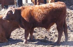 tag 512R, born 5/15, 81.25% steer