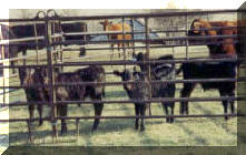 2002 Bull Calves on branding day